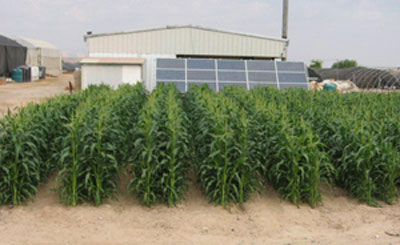 Experimental farm irrigated with solar-powered desalination system
