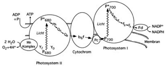 Schematic representation of mechanisms involved in plant photosynthesis