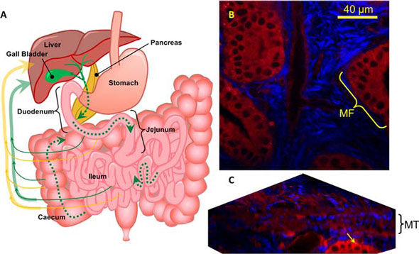 suggested recirculation pathway of dGCPQ particles following oral administration