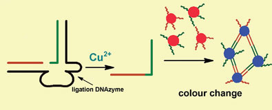 DNA strands causing gold nanoparticles to clump together