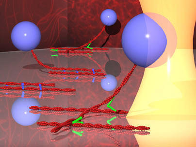 Using optical tweezers to measure protein bonds