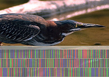 heron with its DNA barcode