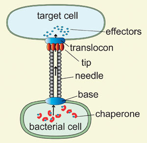 Type III secretion system: nanoinjector, effector proteins and chaperones