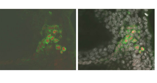 Sox2 is among the genes upregulated by Blimp1 as part of the PGC developmental program. These cells have been fluorescently labeled to illustrate this process; Blimp1-expressing cells are labeled green, Sox2 protein is labeled red