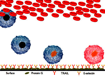A schematic of the two-receptor cancer neutralization concept. Cancer cells present in blood stick and roll on the selectins on the surface of the device. While rolling they bind to TRAIL and accumulate the self-destruct signal. Once they detach from the surface and leave the device, they will die 1-2 days later.
