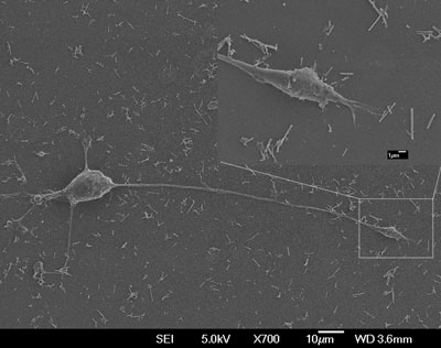 PC12 cell culture with nerve growth factor-incorporated magnetic nanotubes