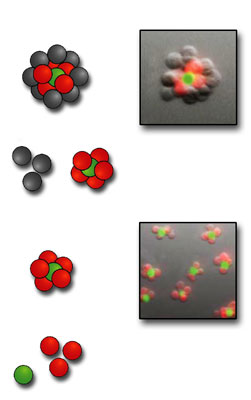 after cell types labeled with red and green dye markers are joined, the resulting 3-D structures are purified to eliminate unreacted cells