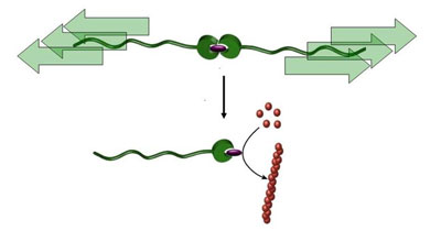 "A catalyst can be switched from a dormant to an active state by pulling on a polymer chain, a ""molecular ripcord"