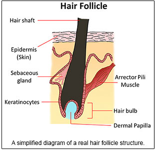 hair follicle definition