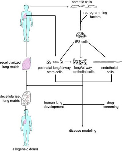 Diagram of Human Stem Cells Being Converted into Functional Lung Cells