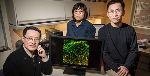 University of Illinois cell and developmental biology professor Fei Wang, left; visiting scholar Qiuhao Qu, center; materials science and engineering professor Jianjun Cheng