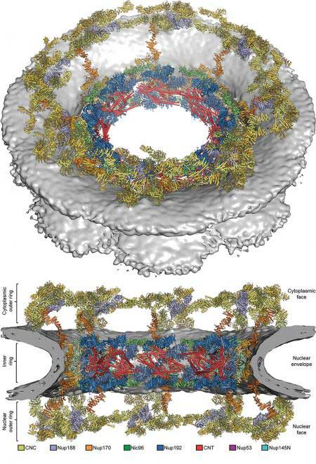 Composite structure of the symmetric core of the nuclear pore complex, shown in a cartoon representation
