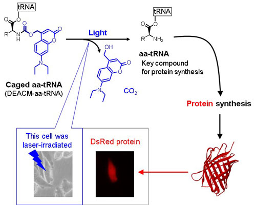Photoinduced DsRed synthesis in a mammalian cell