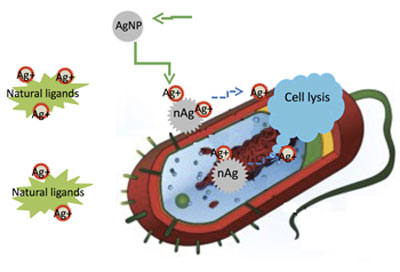 Silver ions delivered by nanoparticles to bacteria promote lysis, the process by which cells break down and ultimately die, which makes silver nanoparticles a superior and widely used antibacterial agent