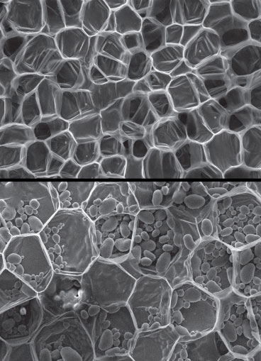 A scanning electron micrograph of carrot, top, and potato, bottom, showing relatively thin-walled cells