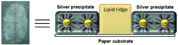 negative fingermarks are developed on paper by the application of gold nanoparticles