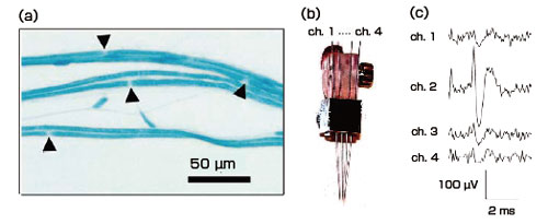 Measurement of action potentials in a single peripheral nerve fiber