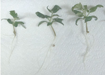 Phenotypes of 25-day-old tomato seedlings growing on medium without (left) and with CNTs (right)