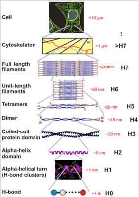Hierarchical structure of intermediate filaments, from the H-bond level (Angstrom scale) to the cell level (micrometer scale)