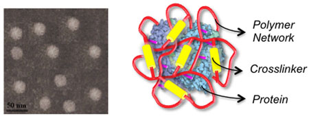 nanocapsule consisting of an encased protein and a skin layer of crosslinked polymer network