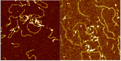 AFM topography images of single strand G4 DNA molecules