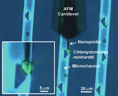 Penetration of a cell by the AFM-navigated nanoelectrode
