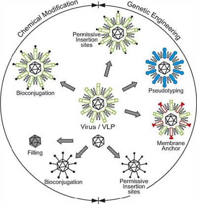 Chemical- and molecular-biology approaches to engineer viral surfaces