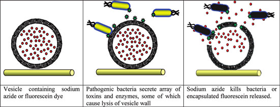 Schematic of responsive antimicrobial system, showing an immobilized Giant Unilamellar Vesicle with encapsulated antimicrobial