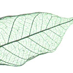 biotemplated_leaf