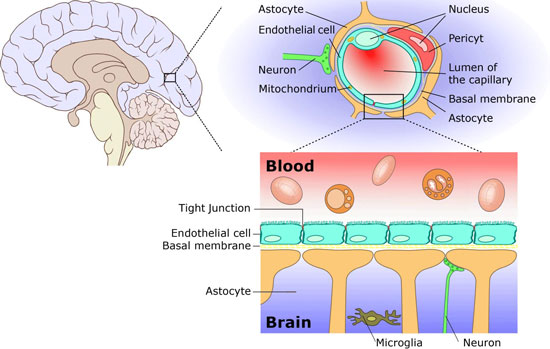 The blood-brain barrier