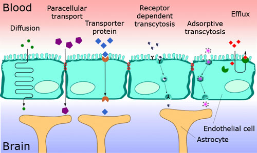 various transport pathways through the blood-brain barrier