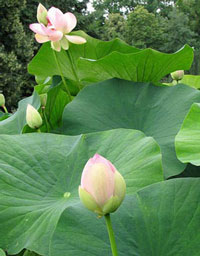 The lotus plant (Nelumbo nucifera)