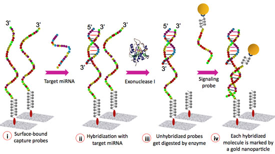 Schematic representation of the miRNA detection assay
