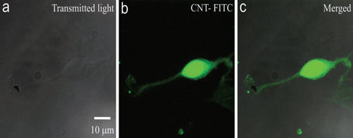 carbon nanotubes internalized in neurons