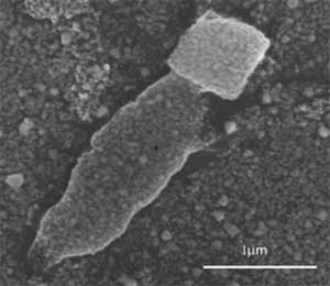 SEM image of a linear E.coli/zeolite L/E.coli assembly