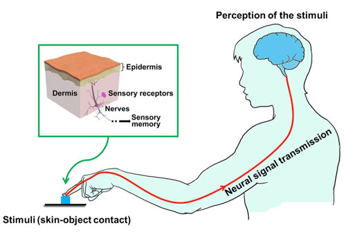 Skin inspired haptic memory devices fig1 schematic illustration of tactile signal transmission skin contacts with an object and transmits the sensation information to somatosensory area of ccuart Images