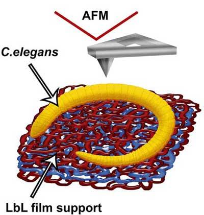 bio c elegans