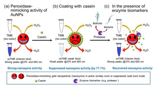总体方案证明了酪蛋白包被的金纳米颗粒过氧化物酶模拟活性的转换用于检测酶生物标志物