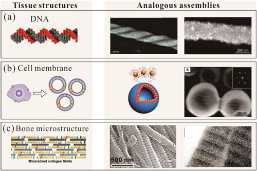 Different types of biological tissue structures and analogous nanoparticle assemblies