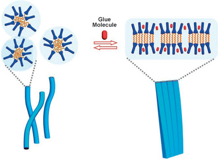 Schematic representation of the transformation of single nanofibers to flat ribbons driven by molecular glue