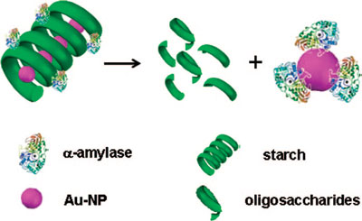 proposed mechanism of gold nanoparticle transfer from starch-gold nanoparticle composite to an enzyme