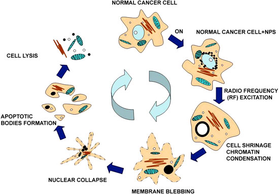 A schematic diagram of HeLa cell with C–Co-NPs apoptosis process under RF excitation