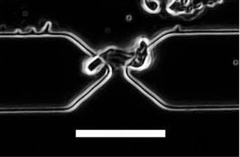 Optical image of a peptide nanotube located at the gap between electrodes as a result of positive dielectrophoresis