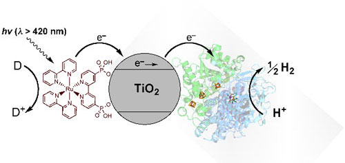 Schematic representation of visible-light driven hydrogen evolution with RuP–TiO2-Hydrogenase