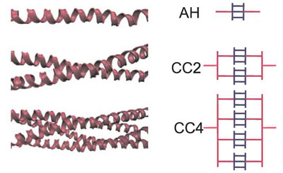 Illustration of different arrangements of alpha-helical protein filaments and their schematic representation in the Hierarchical Bell Model